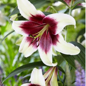 Lilium Kushi Maya Pklilkma - Garden Express Australia