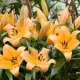 Lilium Trumpet Saltarello