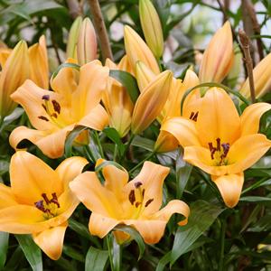 Lilium Saltarello Pklilsal - Garden Express Australia