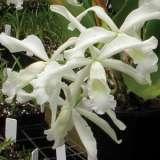 Laelia Orchid Purpurata Alba