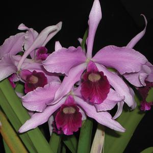 Laelia Orchid Purpurata Violetta