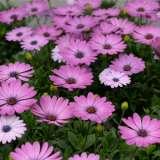 Osteospermum Astra Pink