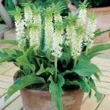 Pineapple-Lily-Dwarf-White-PKPLIDWH
