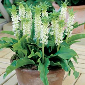 Pineapple Lily Dwarf White Pkplidwh