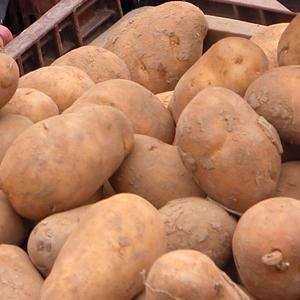 Certified Seed Potato  – Kennebec