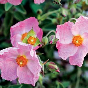 Rock Rose – Silver Pink