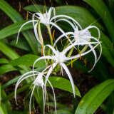 Spiderliliy - Garden Express Australia