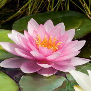 Water Lily Somptuosa Pkwlisom - Garden Express Australia