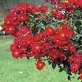 Weeping Flower Carpet Scarlet Rosswfcs