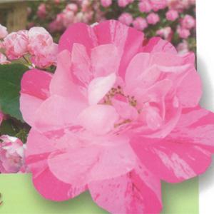 Weeping Rose Pink Splash Rosswpsp