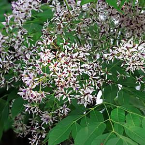 White Cedar Tsewhiced - Garden Express Australia