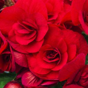 Tuberous Begonia Scarlet