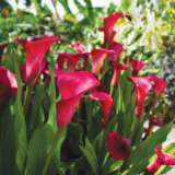 Calla Lily Hot Cherry (pbr)