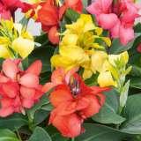 Canna Lily Dwarf Mixed