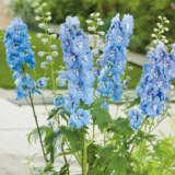 Delphinium Bluebird