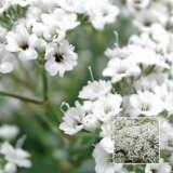 Gypsophila Snowflake