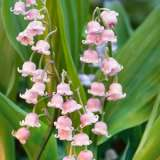 Lily Of The Valley Pink