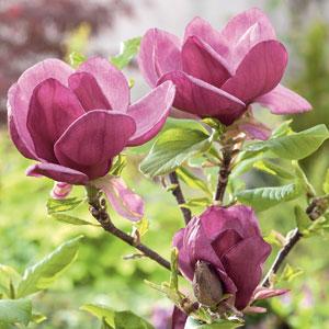 Magnolia Genie (pbr)