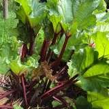 Rhubarb Cherry Red