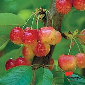 Trixzie White Cherry Mini Fruit Tree