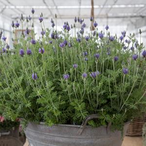 Lavender Blue Torch