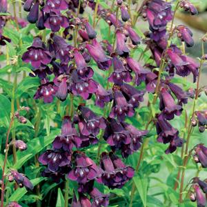 Penstemon Purple Bedder