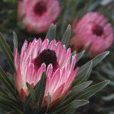 Protea Pixie