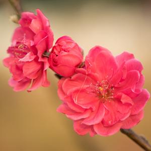 Prunus Magnifica TREPRUMAG