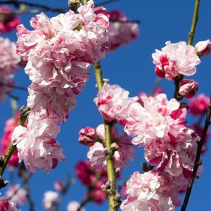 Prunus Versicolour TREPRUVER