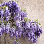Wisteria Violaceae Plena Pplwisvpl - Garden Express Australia