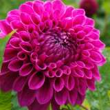 Dahlia Barbarry Bonafide