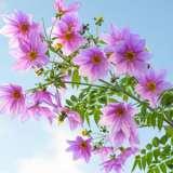 Tree Dahlia Single Pink