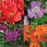 Alstroemeria Inca Spring Collection