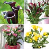 Calla Lily Spring Collection 2021 Colcalsco - Garden Express Australia