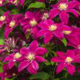 Clematis Sunset 100mm