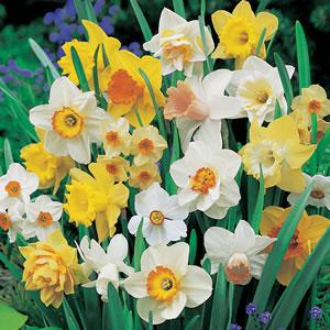 Daffodil Mixed Pkdafmxd 2017