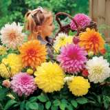 Dahlia Giant Mixed Pkdahgmx