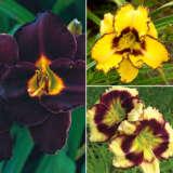 Daylily Spring Collection 1 Coldlisp1 - Garden Express Australia