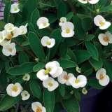 Euphorbia Dwarf Cream Lpoeupdcr