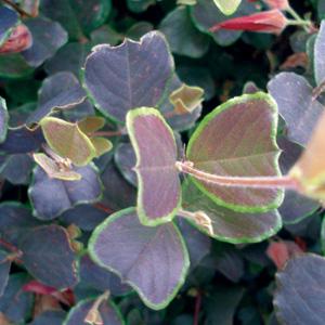 Gastrolobium Brown Butterfly