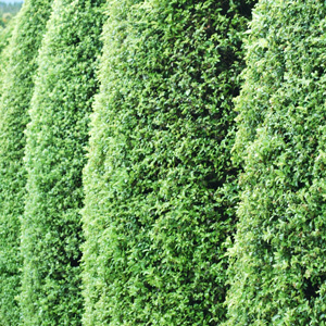 Pittosporum Screen Between Pbr