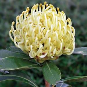 Telopea Shady Lady Yellow (pbr)