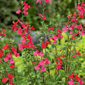 Salvia Margaret Arnold