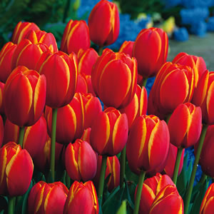 Tulip Worlds Favourite 15