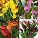 Calla Lily Spring Collection