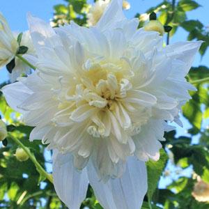 Tree Dahlia Double White
