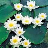 Water Lily White Group