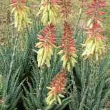 Aloe Echidna