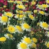 Argyranthemum Sunny Days