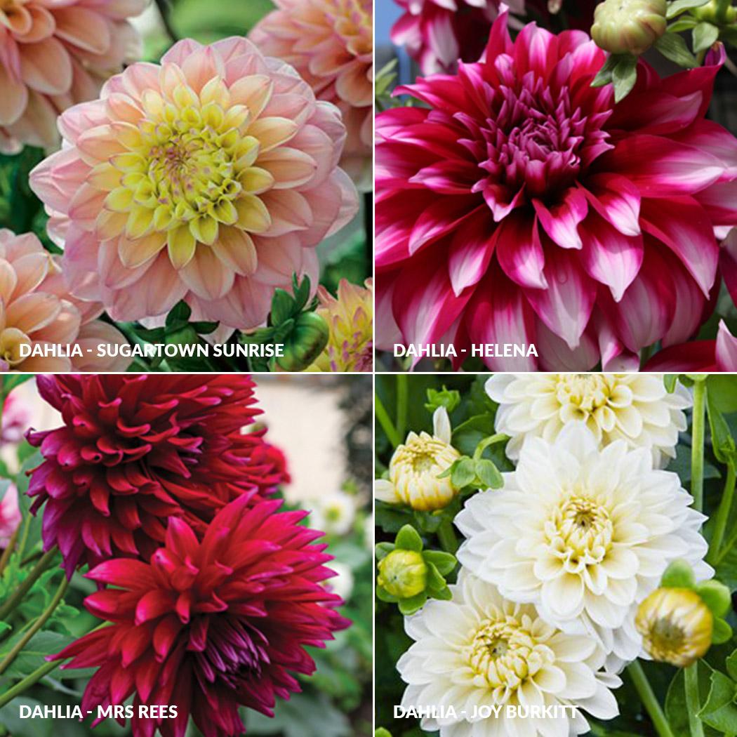 Dahlia Collections Garden Express